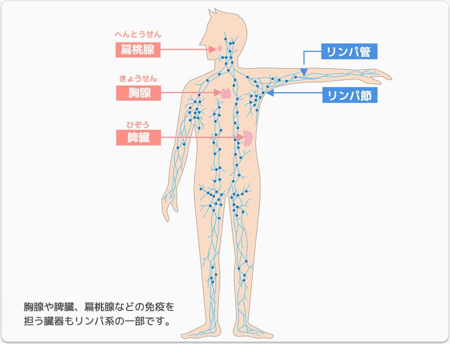 画像に alt 属性が指定されていません。ファイル名: 闘病日記、扁桃腺、リンパ球、リンパ組織.jpg